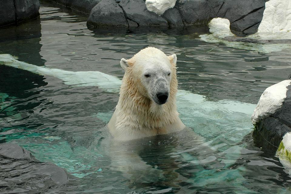 Polar Bear from the San Diego Zoo