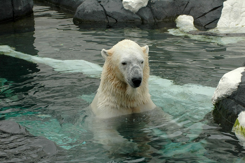 Polar Bear from the San Diego Zoo