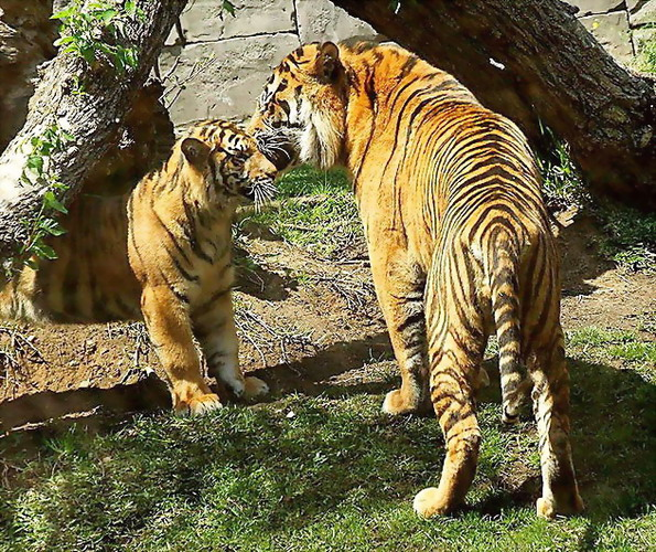 Sumatran Tiger and Son