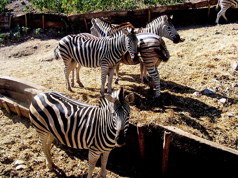 Zebras in Selwo Aventura